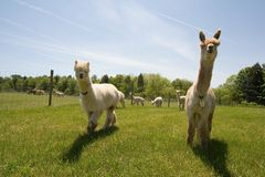 Het Landbouwbedrijf van de alpaca Royalty-vrije Stock Foto