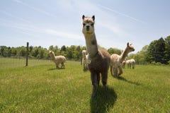 Het Landbouwbedrijf van de alpaca stock foto