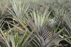 Het landbouwbedrijf van de ananas Royalty-vrije Stock Foto