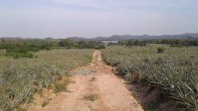 Het landbouwbedrijf van de ananas Stock Afbeelding