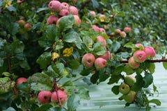 Het landbouwbedrijf van de appel Royalty-vrije Stock Afbeeldingen