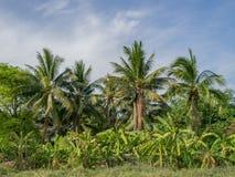 Het landbouwbedrijf van de banaan met erachter kokosnoot Royalty-vrije Stock Afbeelding
