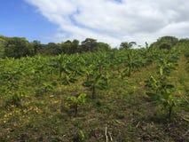 Het landbouwbedrijf van de banaanaanplanting Royalty-vrije Stock Afbeelding