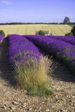 Het landbouwbedrijf van de de gebieden snowshill lavendel van de lavendel cotswolds Gloucester Stock Fotografie
