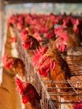 Het landbouwbedrijf van de eierenkip Stock Foto's