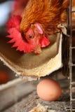 Het landbouwbedrijf van de eierenkip Stock Fotografie