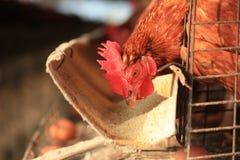 Het landbouwbedrijf van de eierenkip Royalty-vrije Stock Afbeelding