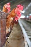 Het landbouwbedrijf van de eierenkip Stock Foto