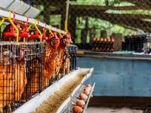 Het landbouwbedrijf van de eierenkip Royalty-vrije Stock Foto's