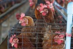 Het landbouwbedrijf van de eierenkip Royalty-vrije Stock Afbeeldingen