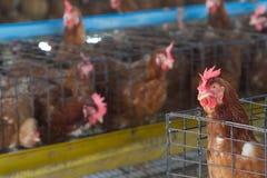 Het landbouwbedrijf van de eierenkip Stock Afbeelding