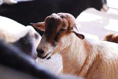 Het landbouwbedrijf van de geit Stock Foto's