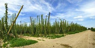 Het landbouwbedrijf van de hop Royalty-vrije Stock Fotografie