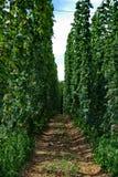 Het landbouwbedrijf van de hop #13 Stock Fotografie