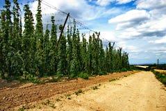 Het landbouwbedrijf van de hop #23 Stock Afbeelding