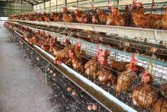 Het landbouwbedrijf van de kip Stock Foto