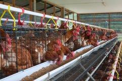 Het landbouwbedrijf van de kip Royalty-vrije Stock Foto's