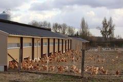 Het landbouwbedrijf van de kip Stock Fotografie