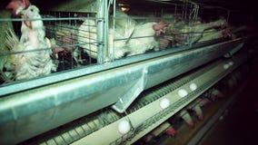 Het Landbouwbedrijf van de kip, Gevogelte stock video