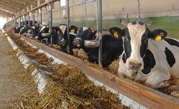 Het landbouwbedrijf van de koe Stock Fotografie