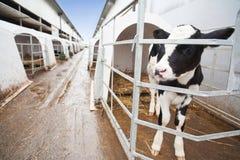 Het landbouwbedrijf van de koe Royalty-vrije Stock Foto's
