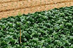 Het landbouwbedrijf van de kool na oogst Stock Afbeelding