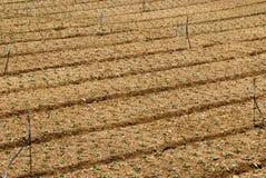 Het landbouwbedrijf van de kool na oogst Stock Foto's