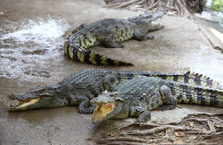 Het Landbouwbedrijf van de krokodil stock fotografie