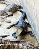 Het Landbouwbedrijf van de krokodil stock afbeelding