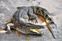 Het Landbouwbedrijf van de krokodil in Thailand. Stock Foto's