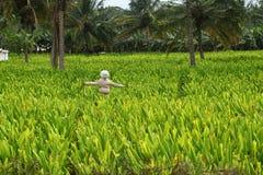 Het landbouwbedrijf van de kurkuma met een het lachen vogelverschrikker Royalty-vrije Stock Fotografie