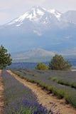 Het Landbouwbedrijf van de lavendel Royalty-vrije Stock Foto