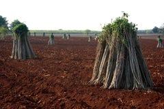 Het landbouwbedrijf van de maniok Stock Foto's
