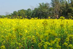 Het landbouwbedrijf van de mosterdlandbouw stock foto