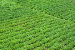 Het landbouwbedrijf van de pinda Stock Fotografie
