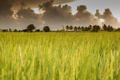 Het landbouwbedrijf van de plattelandsrijst in de bewolkte dag Stock Afbeeldingen