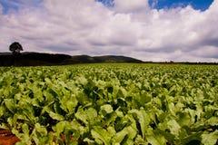 Het landbouwbedrijf van de radijs royalty-vrije stock afbeeldingen