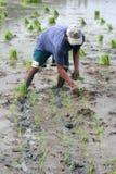 Het landbouwbedrijf van de rijst Royalty-vrije Stock Foto