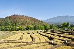 Het Landbouwbedrijf van de rijst Royalty-vrije Stock Afbeeldingen