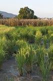 Het Landbouwbedrijf van de rijst en van het Graan Stock Fotografie