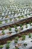 Het landbouwbedrijf van de sjalot Stock Afbeelding
