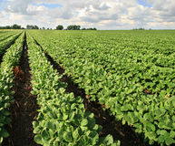 Het landbouwbedrijf van de sojaboon stock foto's