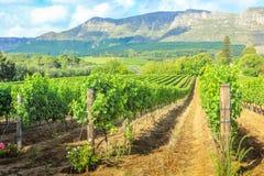 Het landbouwbedrijf van de Stellenboschwijn Stock Afbeelding