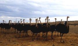 Het Landbouwbedrijf van de struisvogel Stock Foto