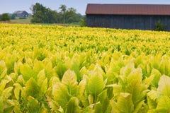 Het landbouwbedrijf van de tabak Stock Afbeelding