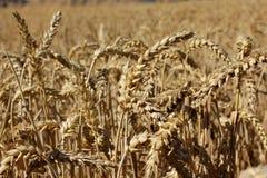 Het landbouwbedrijf van de tarwe royalty-vrije stock afbeelding