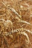 Het landbouwbedrijf van de tarwe stock afbeelding