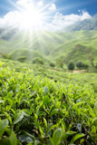 Het landbouwbedrijf van de thee Stock Afbeeldingen