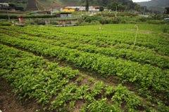 Het landbouwbedrijf van de thee Royalty-vrije Stock Foto's