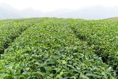 Het landbouwbedrijf van de thee Stock Fotografie